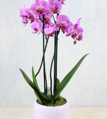 Pink Orchid Plant - a two stemmed orchid plant in a ceramic pot